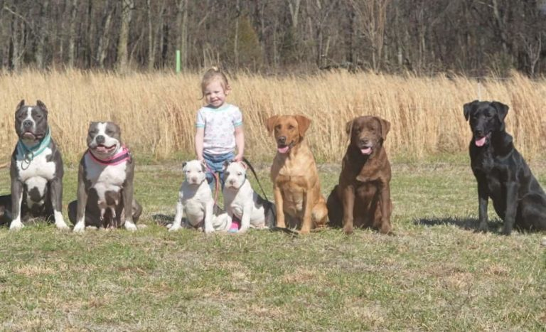 Breeders of Health Tested XL American Bullies and Labrador