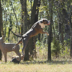 Montana Blue APBT Pitbull Puppies - RBR Kennel